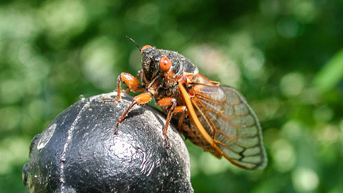 2004-05-15-Return-of-the-Cicadas.jpg